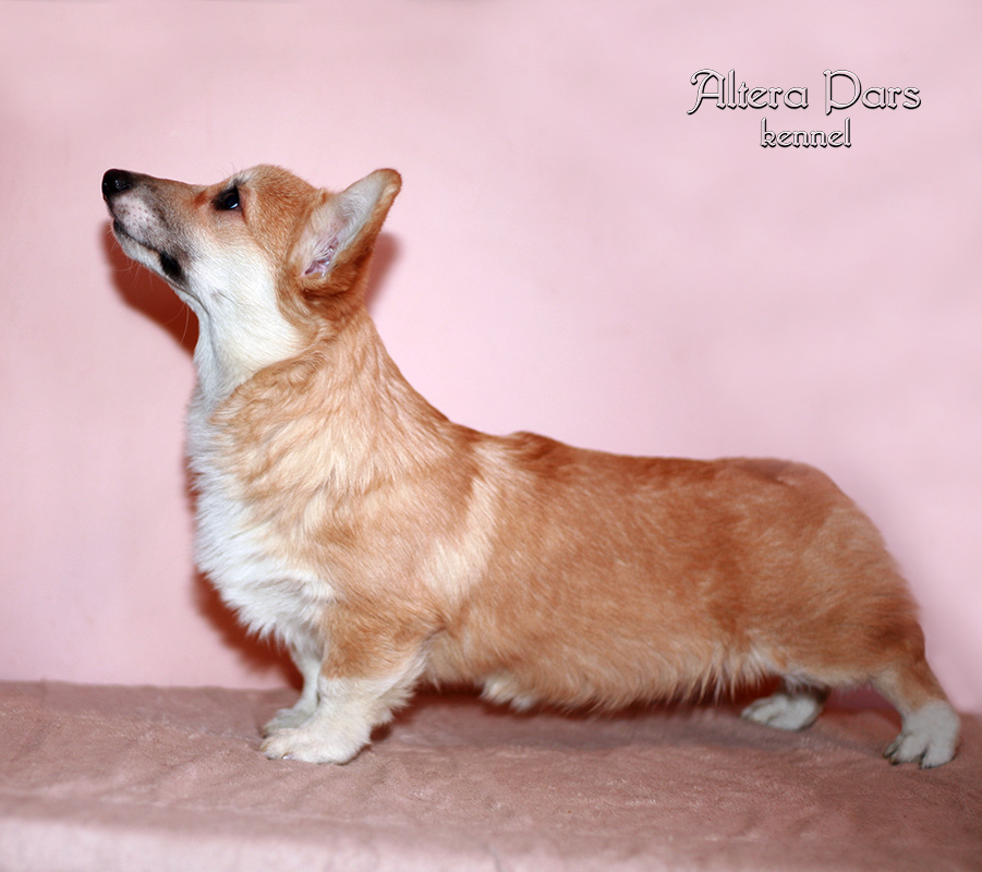 Welsh_corgi_4