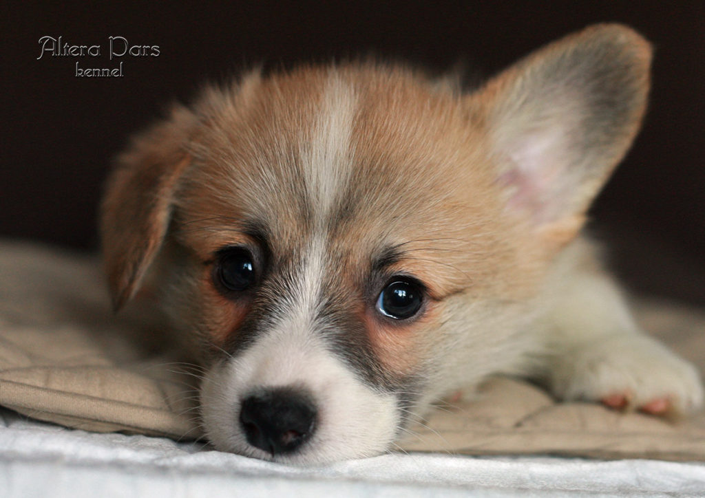 corgi_AP_Doris_Tisterman_45_days_2