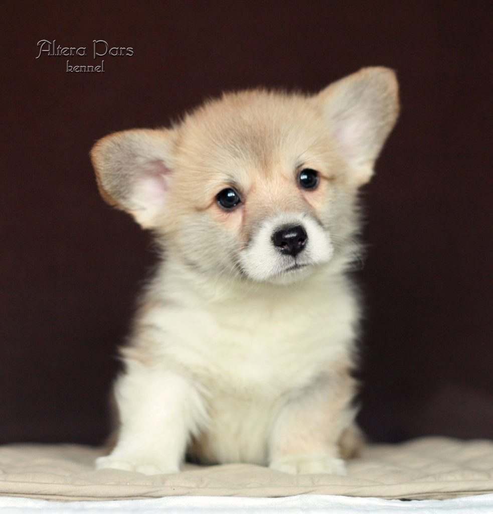 corgi_AP_Dushes_45_days