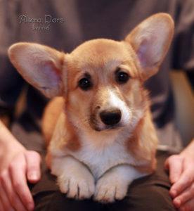 вельш корги пемброк щенок фото